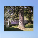 The biggest monkey puzzle tree in Limousin!